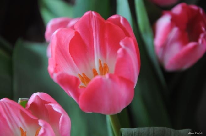 Ihanat tulppaanit! Eräs unelmani on nähdä Hollannissa Keukenhofin upea kukkaloisto.